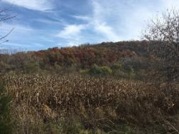 field-corn
