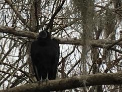 vulture close
