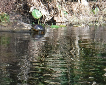 wekiwa springs kayaking turtle