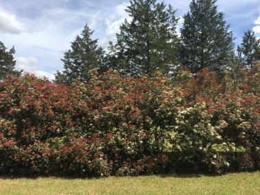 Four Freedom Trail hedge