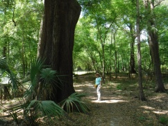 Suwannee State Park, large tree